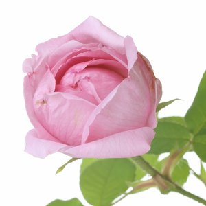 Rose - Aromatherapy Spray - 15ml